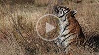 South Africa, Private reserve, Asian (Bengal) Tiger (Panthera tigris tigris), mark the territory