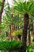 Palm trees at the Huerto del Cura, National artistic garden. Elche, Alicante, Spain.