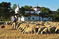 Shepherd with his flock of sheep in front of the hermitage of Nuestra Señora de la Aparecida, near Segovia. Spain