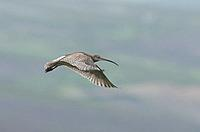 Curlew, Numenius-arquata in flight. Uk.
