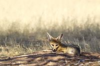 Cape Fox (Vulpes chama). Resting at its burrow. Kalahari Desert, Kgalagadi Transfrontier Park, South Africa.