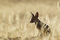 Cape Fox (Vulpes chama). Kalahari Desert, Kgalagadi Transfrontier Park, South Africa.