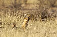 Cape Fox (Vulpes chama). Adult with pup. Kalahari Desert, Kgalagadi Transfrontier Park, South Africa.
