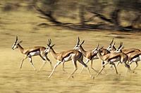 Springbok (Antidorcas marsupialis). Running in the dry Auob riverbed. Kalahari Desert, Kgalagadi Transfrontier Park, South Africa.
