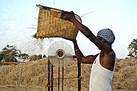Day labourer winnowing rice ( Odisha state, India).