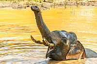 Tusked elephant taking a bath, Yala National Park, Southern Province, Sri Lanka.