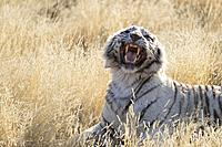 South Africa, Private reserve, Asian (Bengal) Tiger (Panthera tigris tigris), White tiger, resting.