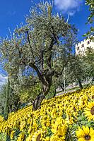 Sunflowers and Olive Tree in the Gardens of Trauttmansdorff Castle, Merano, South Tirol, Italy, Europe.