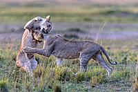 lionesses play fighting in Masai Mara National Reserve, Kenya.