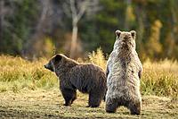 Grizzly bear (Ursus arctos)- Siblings standing to observe potential danger, Chilcotin Wilderness, BC Interior, Canada.