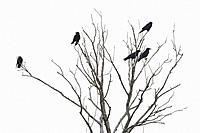 Carrion crows, Corvus corone corone, Hesse, Germany, Europe.