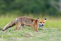 Red fox (Vulpes vulpes) with mouse on mowed meadow, Hesse, Germany, Europe.