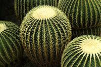 Round Golden barrel cactus.
