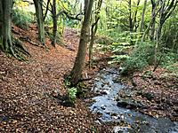 Birck Beck in Birk Wood in Autumn Harrogate Yorkshire England.