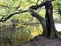 Hollow Tree by the River Nidd in Nidd Gorge Woods in Autumn Knaresborough North Yorkshire England.