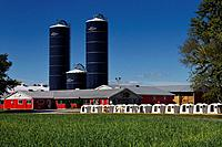 Calves tethered to white plastic hutches at a dairy farm with blue silos of grain and red livestock barns in Prince Edward County Ontario Canada.