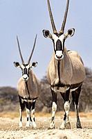 Gemsbok or Oryx (Oryx gazella) - Onkolo Hide, Onguma Game Reserve, Namibia, Africa.