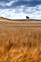 Osborne bull on a mature wheat field, long exposure shot, Castilleja del Campo, Seville, Spain. The Osborne bull is a 14-metre (46 ft) high black silh...