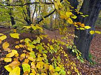Beech trees Fagus sylvatica and autumn leaves Felbrigg Great Wood Norfolk UK Early November.