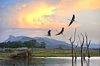 flight of grey heron (Ardea cinerea) over the Senanayake Samudraya Lake, Gal Oya National Park, Sri Lanka, Indian subcontinent, South Asia.
