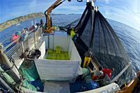 Purse-seine fishing. Sardines (Sardina pilchardus). Horse mackerel (Trachurus trachurus). Mackerel (Scomber scombrus). Eastern Atlantic. Galicia. Spai...