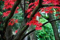 Leaves of Japanese Maple (Acer palmatum) in botanic garden