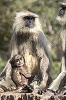 Asia, India, Rajasthan, Ranthambore National Park, Northern plains gray langur or Hanuman Langur (Semnopithecus entellus), mother and baby.