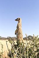 Africa, Southern Africa, South African Republic, Kalahari Desert, Meerkat or suricate (Suricata suricatta), adult, sentinel perched on a tree.