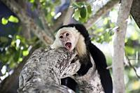 Aggressive Capuchin Monkey on a tree. Photographed in Guanacaste National Park Costa Rica in December