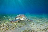 green sea turtle (Chelonia mydas) eating sea grass.