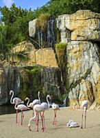 Group of Greater flamingos (Phoenicopterus roseus) in the natural animal park, Bioparc Valencia, Spain. The Greater flamingos share a multispecie encl...