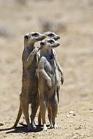 Standing meerkats (Suricatta suricata), on guard, Kgalagadi Transfrontier Park, Northern Cape, South Africa, Africa.