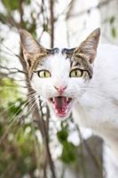 Yawning cat.