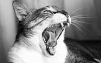 Roaring Cat.