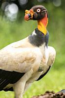 King vulture (Sarcoramphus papa) - La Laguna del Lagarto Lodge, Boca Tapada, Costa Rica.