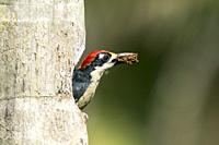 Black-cheeked Woodpecker (Male) - La Laguna del Lagarto Lodge, Boca Tapada, San Carlos, Costa Rica.