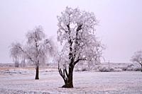 Frost trees, Minidoka National Historic Site, Idaho.