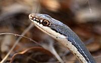 Sonoran whipsnake, (Coluber bilineatus), Gardner Canyon, Santa Rita Mountains, Coronado National Forest, Sonoita, Arizona, USA.