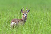 Western Roe Deer (Capreolus capreolus) in summer, Roebuck, Hesse, Germany, Europe.