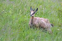 Chamois (Rupicapra rupicapra) in summer, Hohneck, Vosges, Alsace, France, Europe.