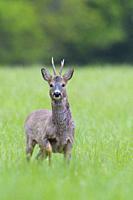 Western Roe Deer (Capreolus capreolus) in springtime, Roebuck, Hesse, Germany, Europe.
