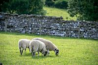 Group of sheep grazing in sunny pasture, Yorkshire Dales, UK.