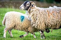 Lamb goes in for milk, Yorkshire Dales, UK.