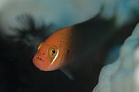 Fiery Dottyback (Pseudochromis steenei), Male, Batu Sandar dive site, Lembeh Straits, Sulawesi, Indonesia.