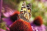 Painted lady butterfly feeding on Echinacea purpurea RUBY GIANT.
