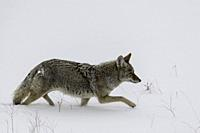Coyote hunting in Yellowstone National Park.. Wyoming, USA.