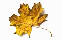 Single maple tree leaf in autumn on white background.