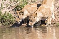 Africa, Southern Africa, South African Republic, Mala Mala game reserve, savannah, Lion (Panthera leo), female, drinking.