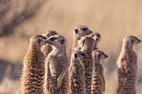 Africa, Southern Africa, South African Republic, Kalahari Desert, Meerkat or suricate (Suricata suricatta), adults and youngs.