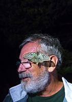 SPANISH MOON MOTH (Graellsia isabellae).